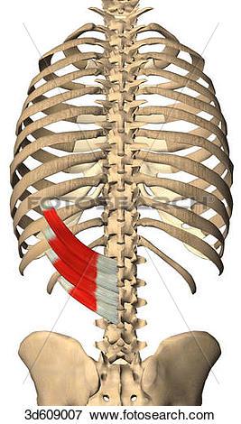 Stock Illustration of Posterior view of the serratus posterior.