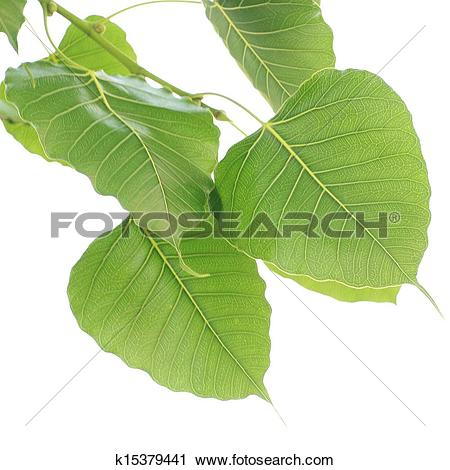Stock Photo of Bodhi Leaf from the Bodhi tree k15379444.