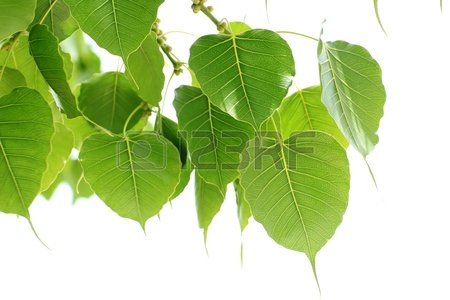 Bodhi Leaf From The Bodhi Tree, Sacred Tree For Hindus And.