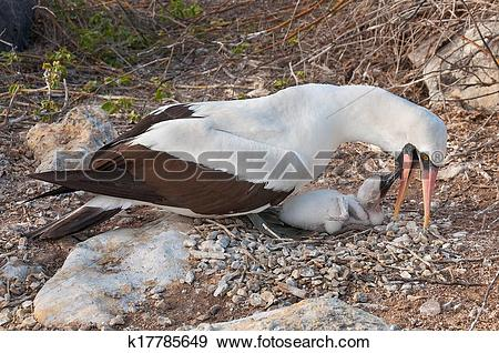 Stock Photograph of Galapagos Nazca booby feeding chick k17785649.