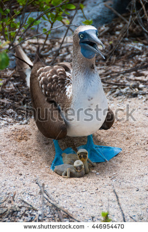 Blue Footed Booby Stock Photos, Royalty.
