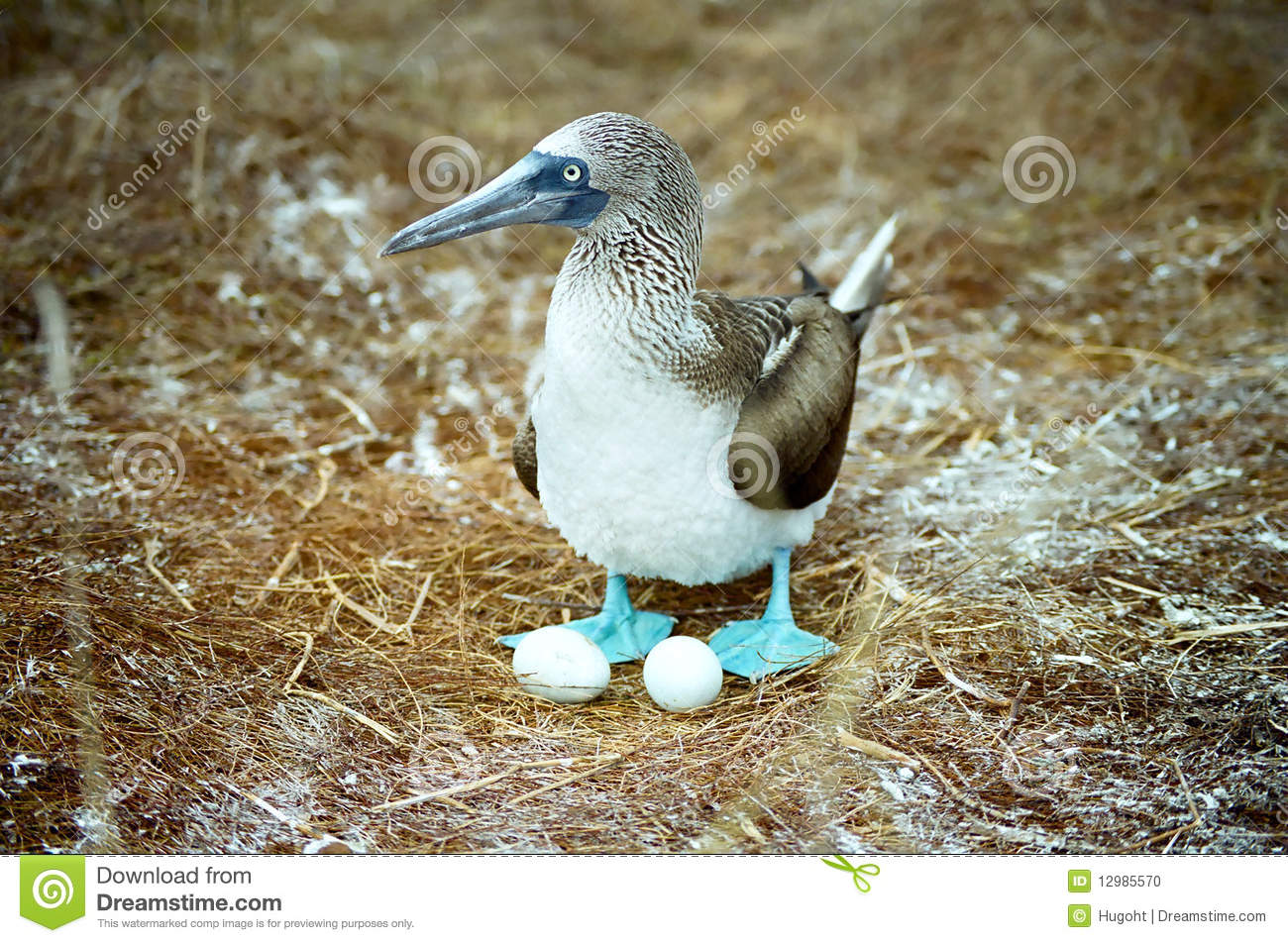 Galapagos Blue Footed Booby And Eggs Stock Photo.