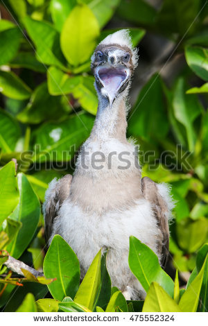 Red Footed Booby Stock Photos, Royalty.