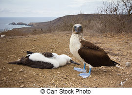 Stock Photography of Blue footed booby chick at Los Tuneles.
