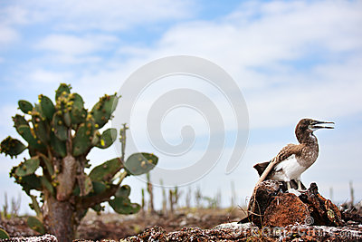 Blue Footed Booby And Chick Royalty Free Stock Photos.