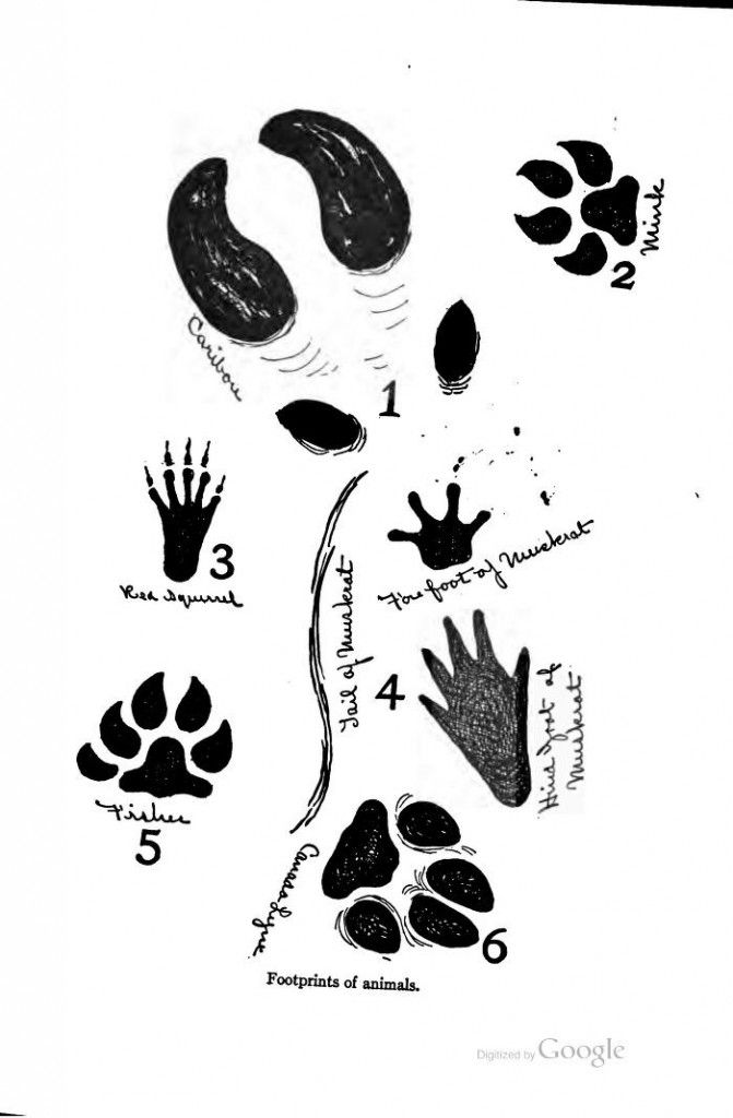 1000+ images about Animal Tracks on Pinterest.