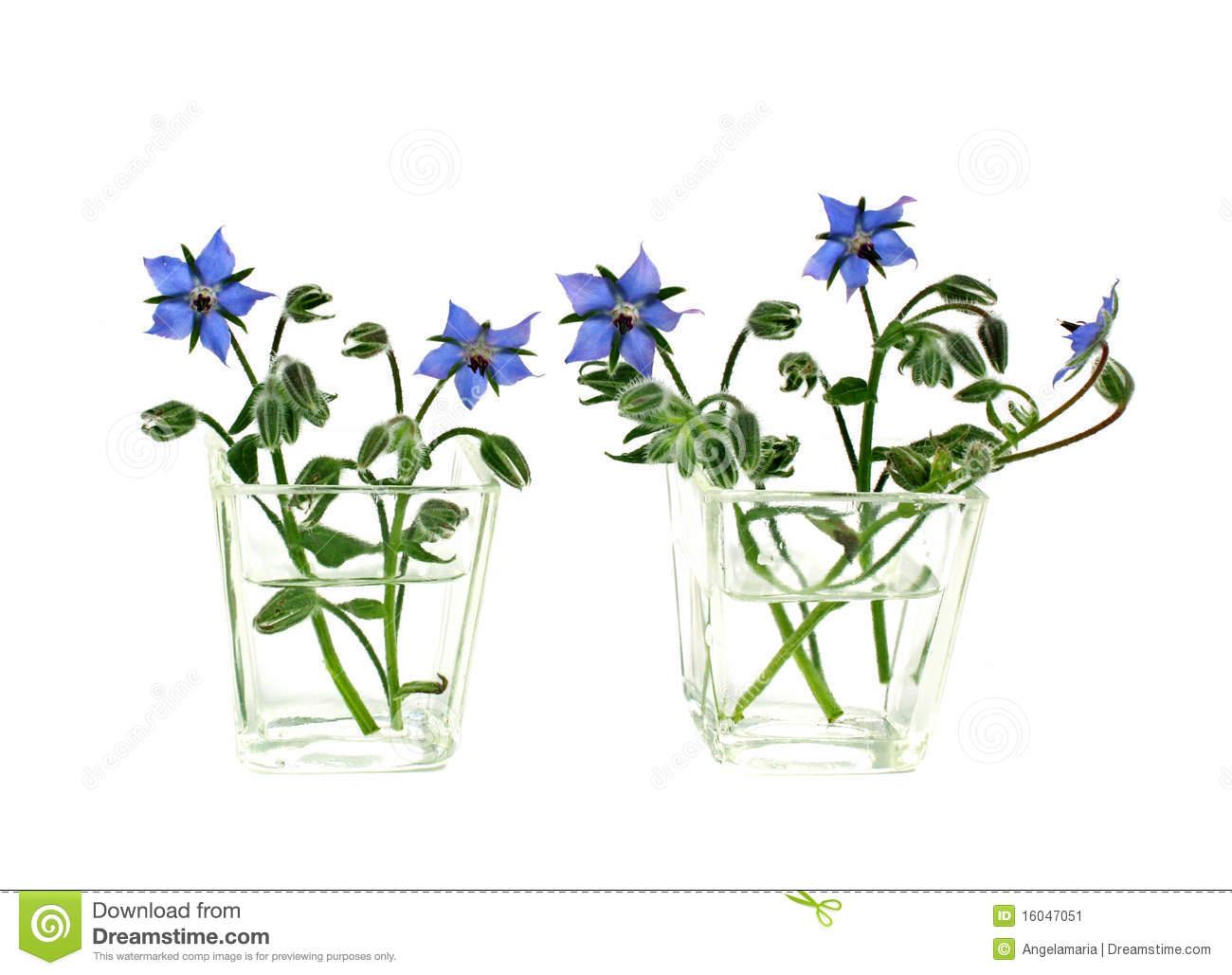 Vases Of Borage Flowers Stock Image.