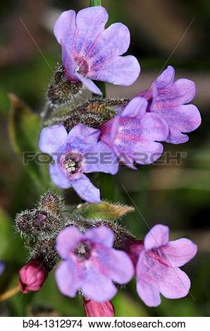 Stock Photo of Lungworts flowers, Pulmonaria officinalis. Fam.