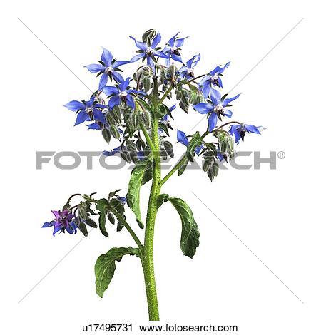 Stock Photography of Borage Borago officinalis flowers u17495731.
