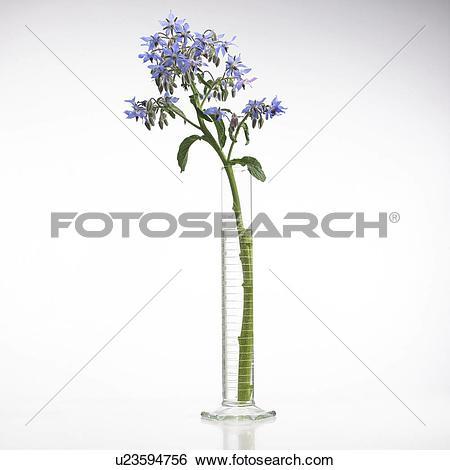 Stock Images of Borage Borago officinalis flowers u23594756.