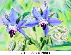 Drawing of Borage flowers.
