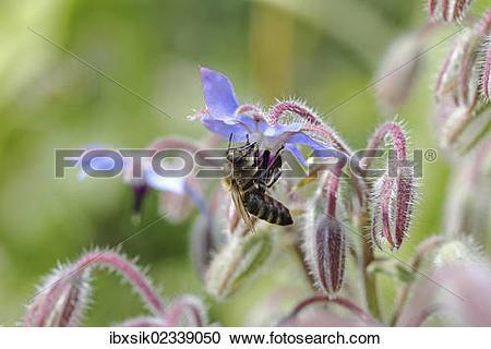 "Stock Photography of ""Bee (Apis sp.) on Borage (Borago officinalis."