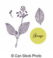 Borago officinalis Illustrations and Stock Art. 16 Borago.
