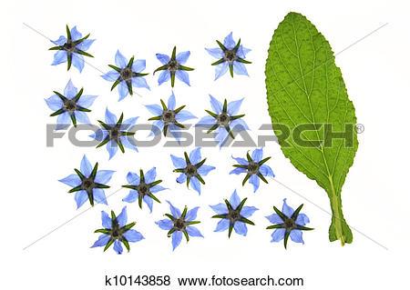 Stock Illustration of Borage flowers.