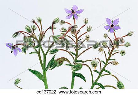 Stock Photo of Borage (Borago officinalis) cd137022.