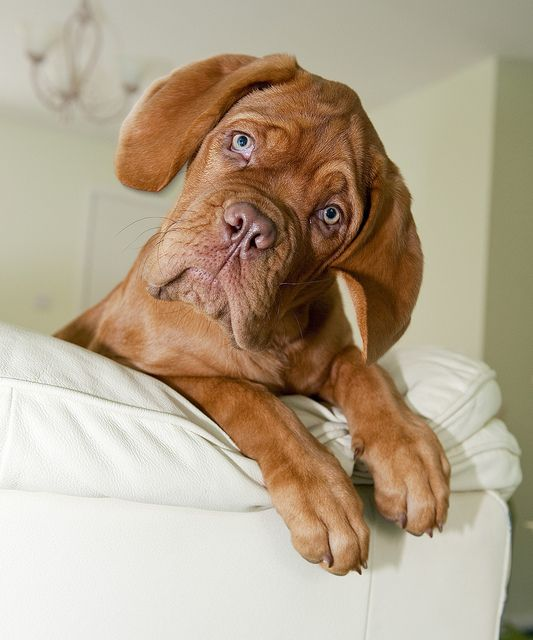 Pin by Sherry King on French Mastiff.