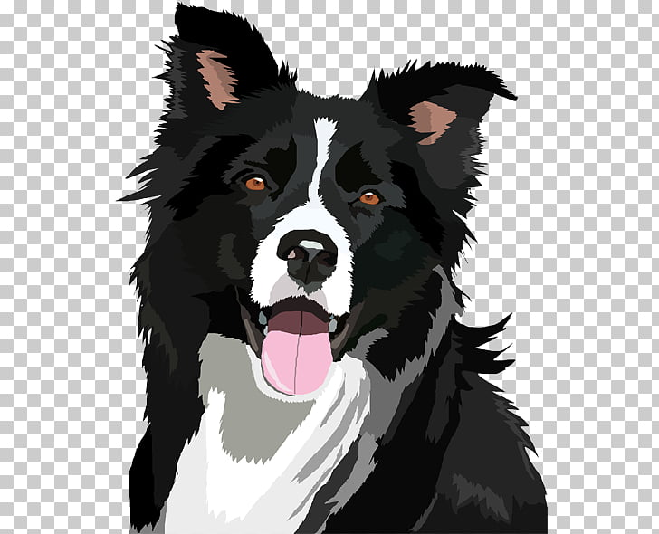 Border Collie Bearded Collie , Border Collie File, adult.