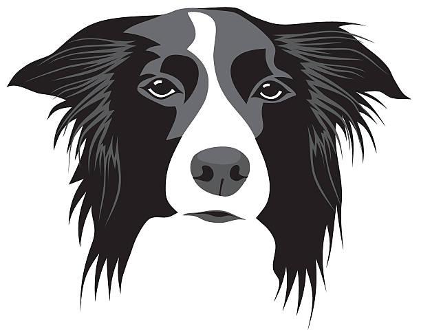 Best Border Collie Illustrations, Royalty.