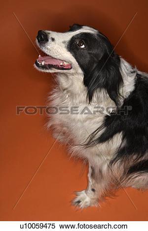 Stock Image of Black and white Border Collie mix dog sitting.