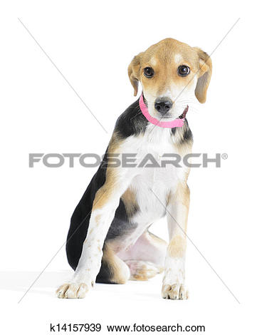 Stock Photograph of Border collie/beagle mix puppy isolated on.