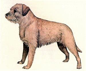 Border Terrier Png & Free Border Terrier.png Transparent Images.