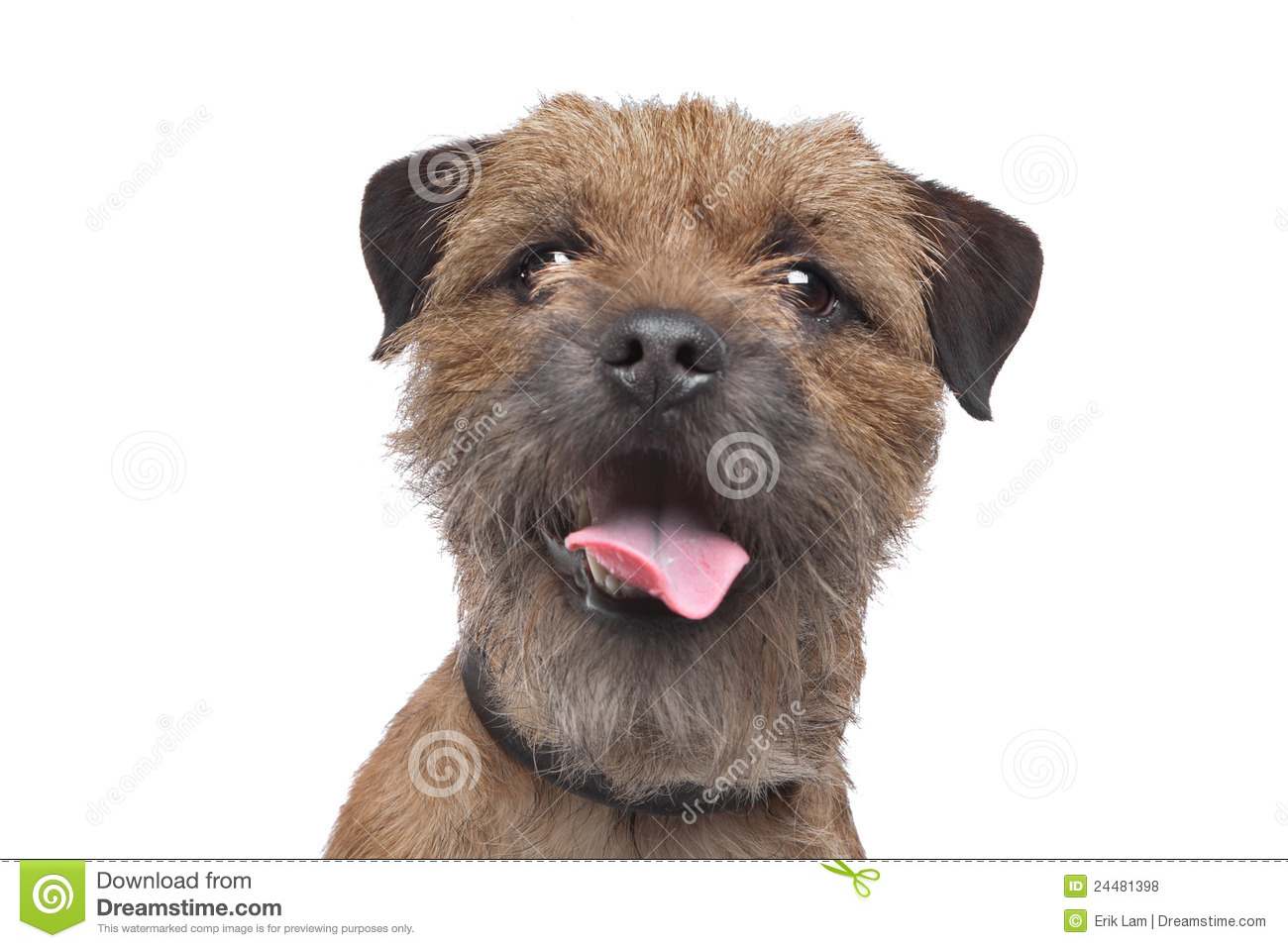 Border Terrier Stock Images.