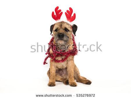 Border Terrier Stock Photos, Royalty.