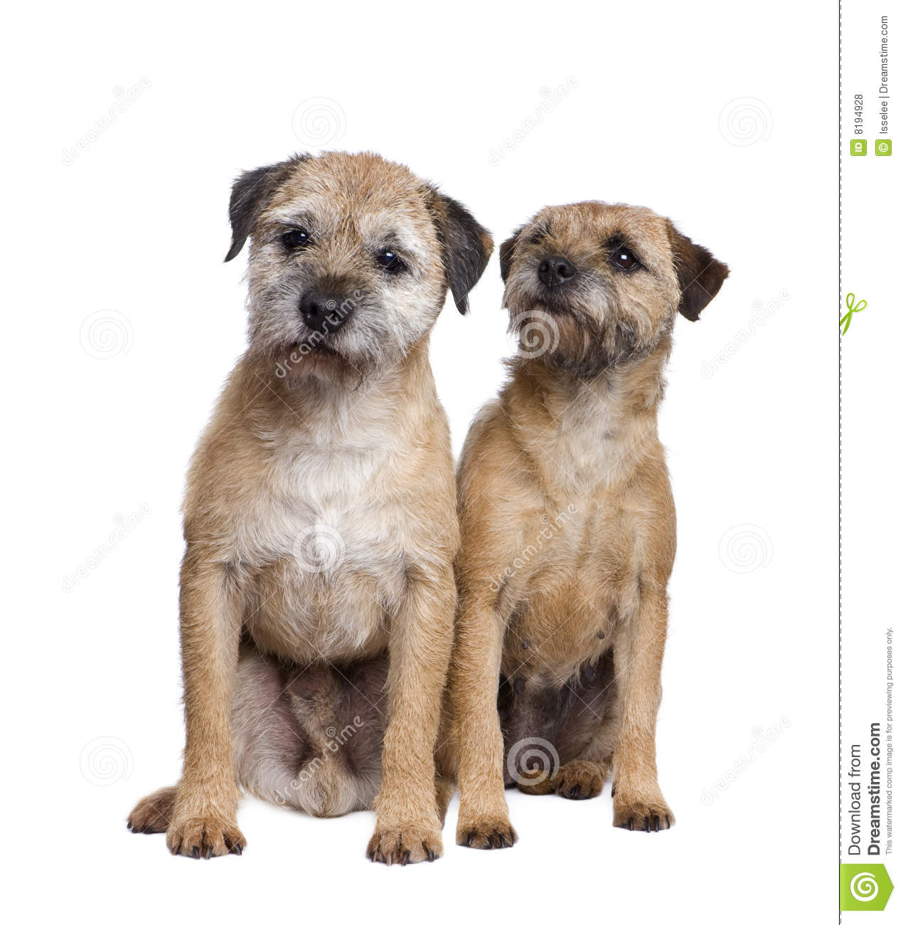 Two Border Terriers Royalty Free Stock Photos.