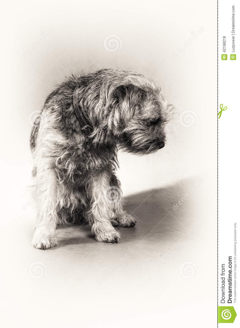 Dog, Border Terrier, Terrier, Sitting, Hairy, Blac Stock Photo.