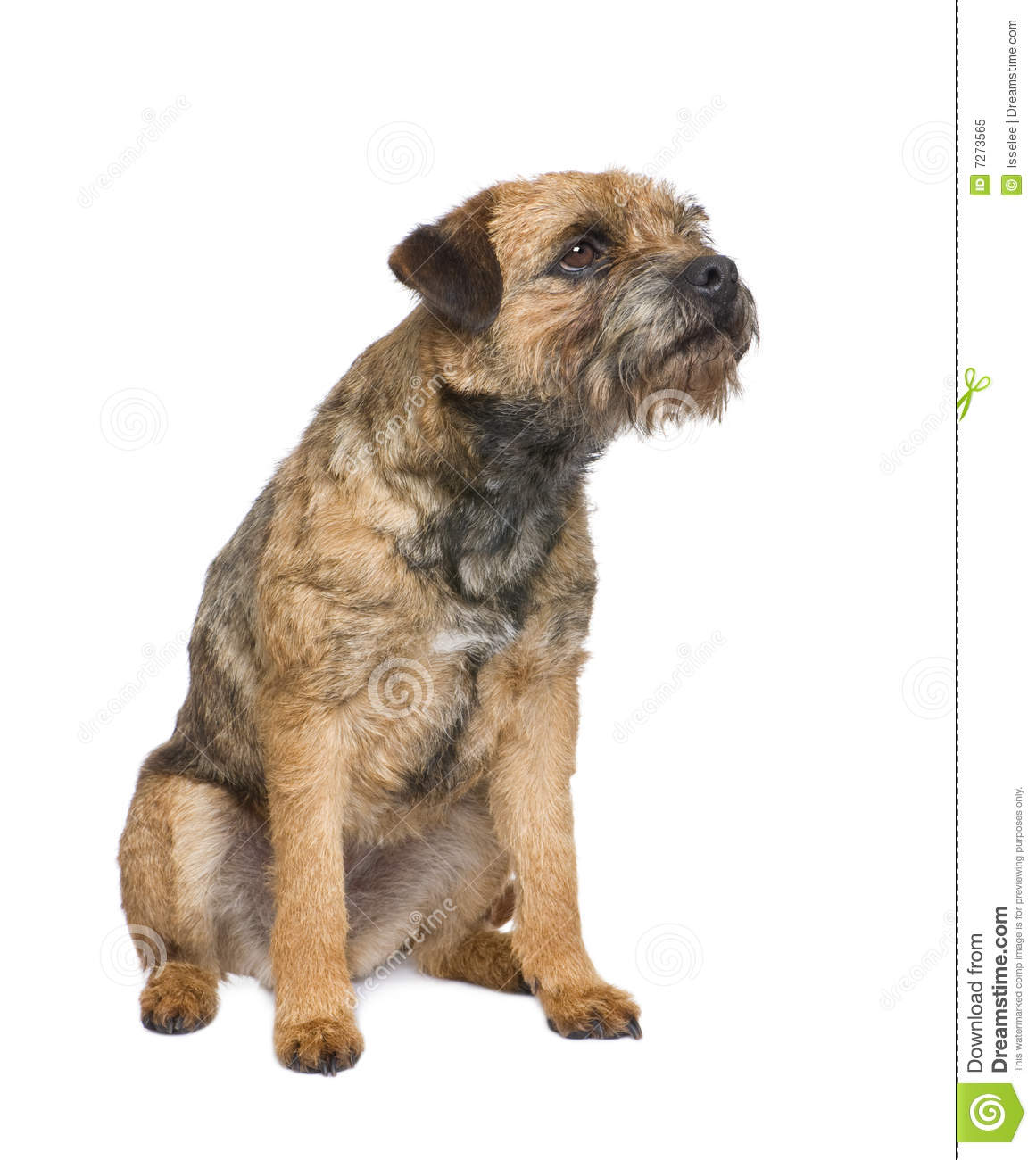 Border Terrier Royalty Free Stock Photo.