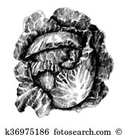 Borecole Stock Illustrations. 3 borecole clip art images and.