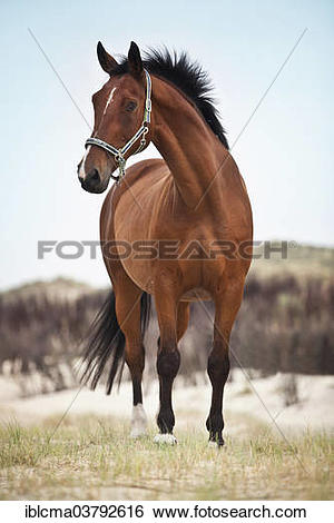 "Stock Images of ""Hanoverian gelding, bay with a facial marking."