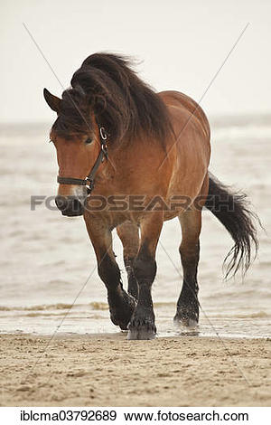 "Stock Photograph of ""Belgian Draft Horse gelding, roaming free on."