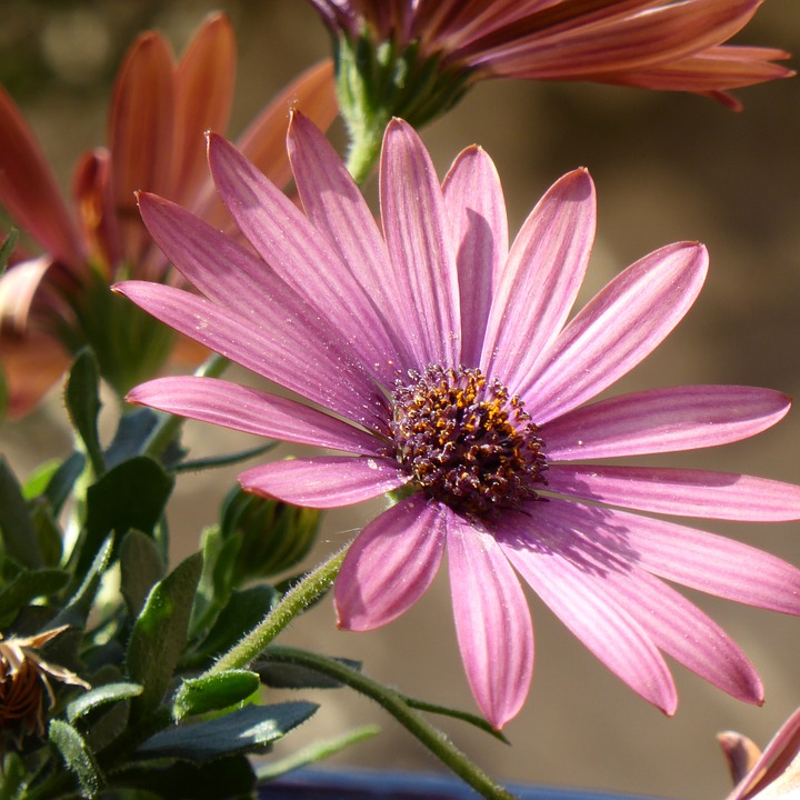 Free photo: Bornholm, Aster, Flower.