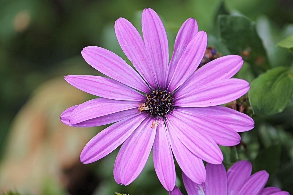 Free photo: Magerite, Bornholm, Pink, Blossom.
