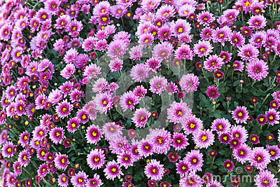 Pink Marguerite Flowers Royalty Free Stock Images.