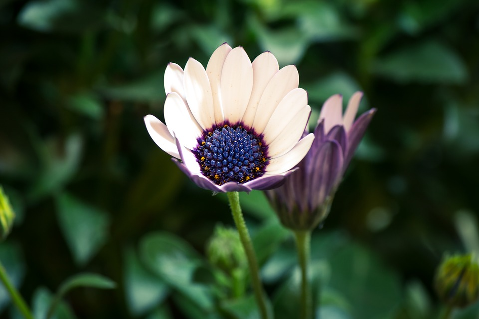 Free photo: Osteospermum Ecklonis.