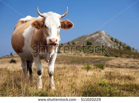 Bos Primigenius Taurus Stock Photos, Royalty.