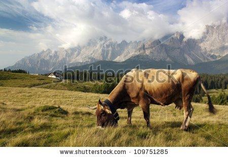 Bos primigenius taurus Stock Photos, Images, & Pictures.