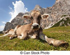 Stock Photographs of cow, bos primigenius taurus.