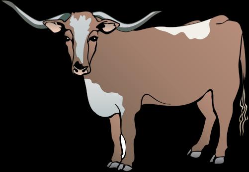 Bos primigenius taurus (Longhorn Steer).