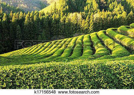 Pictures of South Korea beautiful Boseong Green Tea Field.