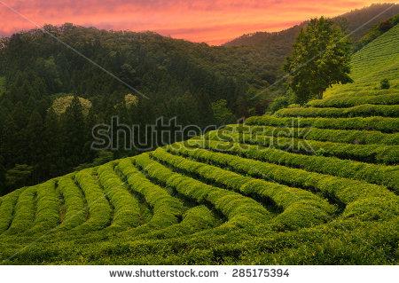 """boseong Tea Field"""" Stock Photos, Royalty."""