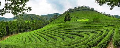 Boseong Green Tea Plantation, South Korea Royalty Free Stock.