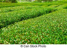 Stock Photo of South Korea beautiful Boseong Green Tea Field.
