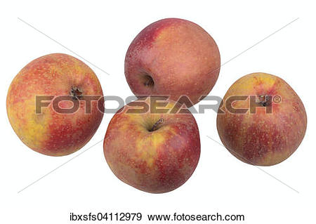 Stock Photograph of Apple variety Red Boskoop ibxsfs04112979.