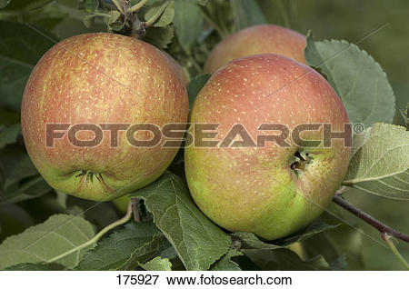 Picture of Apple (Malus domestica), variety: Red Belle de Boskoop.