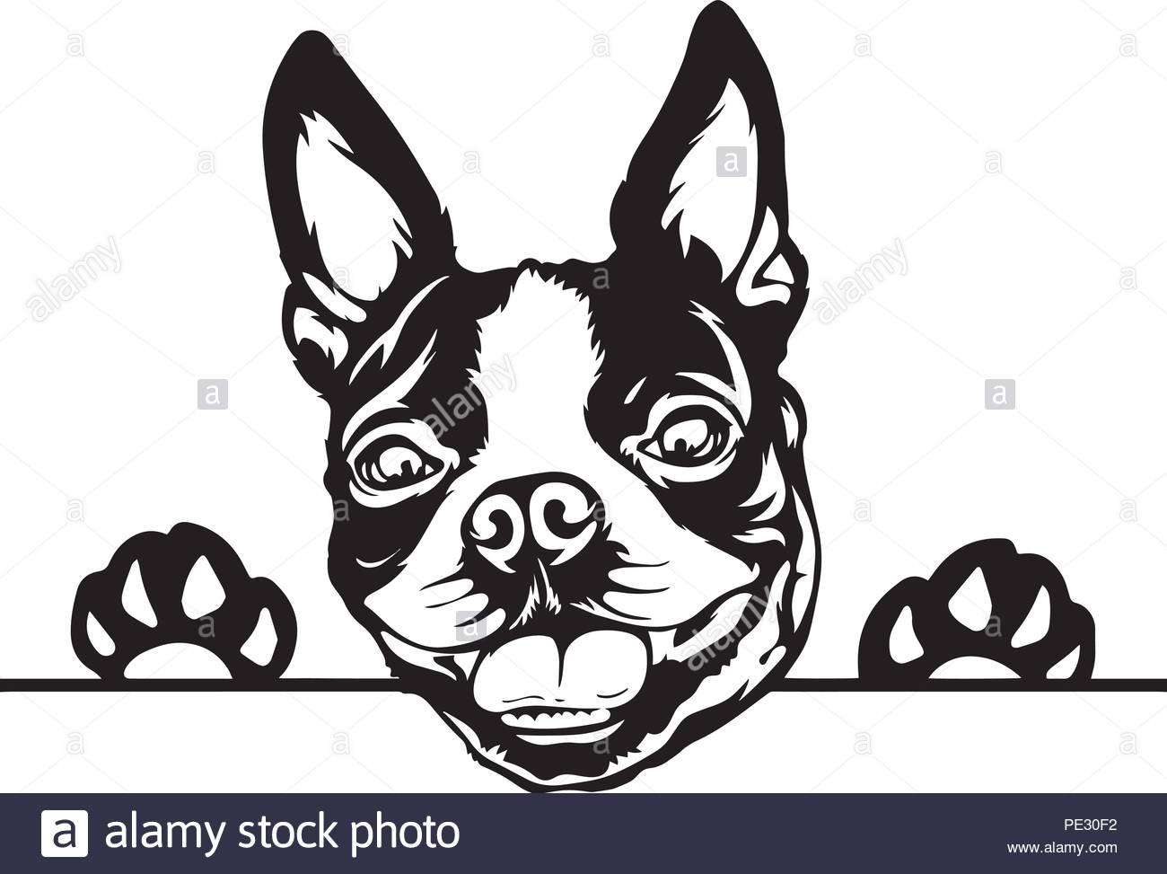 Boston Terrier Bostie Dog Breed Pet Puppy Isolated Head Face Stock.