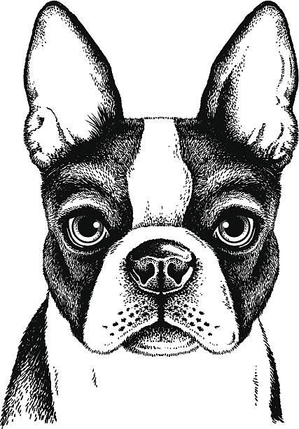 Best Boston Terrier Illustrations, Royalty.