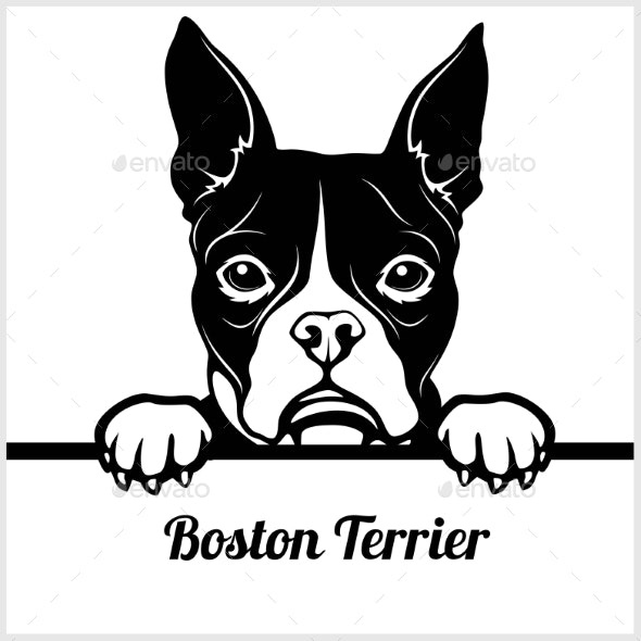 Boston Terrier Peeking Face.